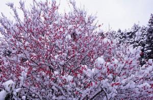 暖かくなってきたなと思ったら! また雪!梅の花も凍えそうですね