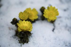 まだ雪の降る寒い季節、 一番先に春を告げるフクジュソウの花