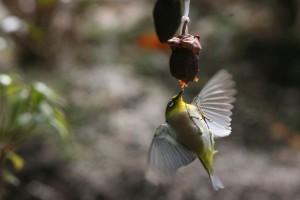 干柿をついばむメジロ 春を告げる野鳥です♪