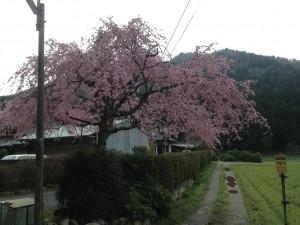 ちょっと濃いピンクのしだれ桜