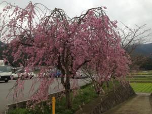 ファミマのところのしだれ桜