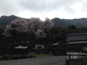 来迎院の桜