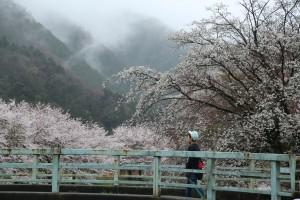 満開の桜、こんな日は学校行くのも楽しいかな