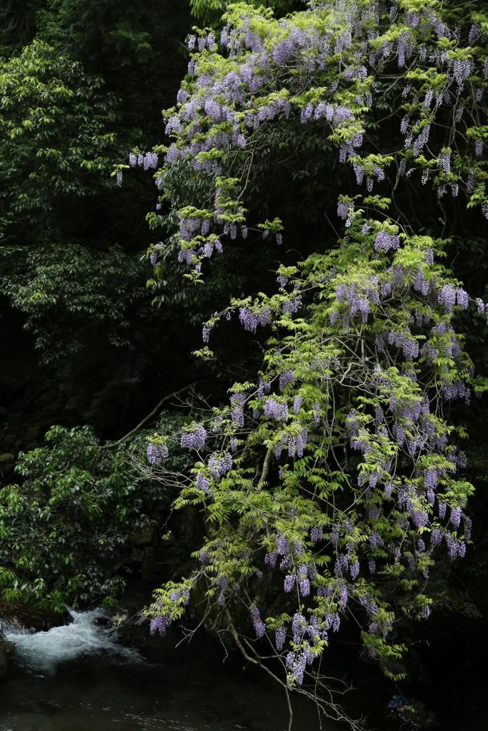 藤の花、ことしは山の斜面が薄紫に覆われるほど花の多い年でした