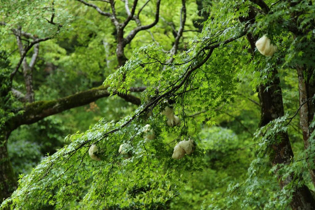木の枝についたモリアオガエの卵塊