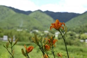 野カンゾウの花、夏らしい色です