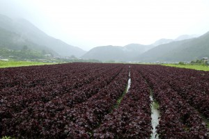 梅雨時の雨と、真夏の日差しを受けてぐんぐん成長します。赤シソ最盛期