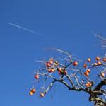 青空と飛行機と柿と・・・とってもいい眺めです