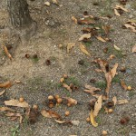 親水公園にはクヌギの木がたくさん植樹されています。ドングリコロコロ