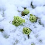 雪をかぶったふきのとう