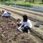 赤シソの苗を植えていきます
