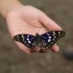 国蝶のオオムラサキ、放蝶会が毎年行われます。