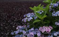 赤しそと紫陽花と