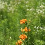 野カンゾウの花