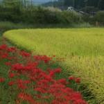 田んぼの畔を赤く染めます
