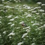 フジバカマは秋の七草のひとつです