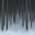 北山杉と雪・・・