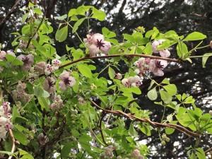 地味なお花ですが、よーく見るとかわいいアケビの花